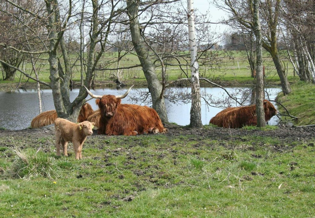 cattle-535875_1920